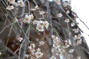 近くのお宅の梅も大分咲いてきました