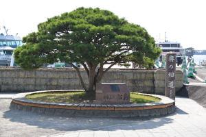 日本三景「松島」、立派な松が