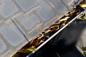雨樋いにも柿の葉がたくさん落ちています