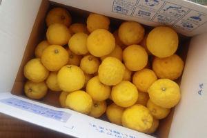 収穫した柚子の実