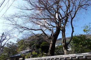 塀のそばには大きな桜の木が2本