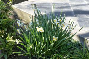 水仙が咲いていました