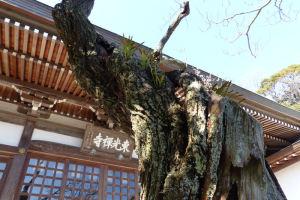 梅の木は何か所も枝が切り落とされていました