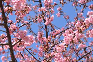 河津桜が咲いてきました