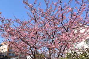 公園には河津桜の木が2本