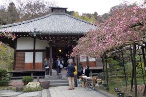 カイドウが咲いている先が光則寺本堂