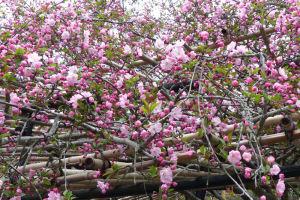 ピンク色の花を咲かせています