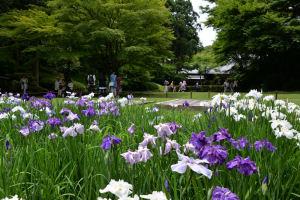 鎌倉山ノ内「明月院花菖蒲」