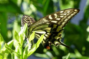 アゲハチョウとセミの脱皮