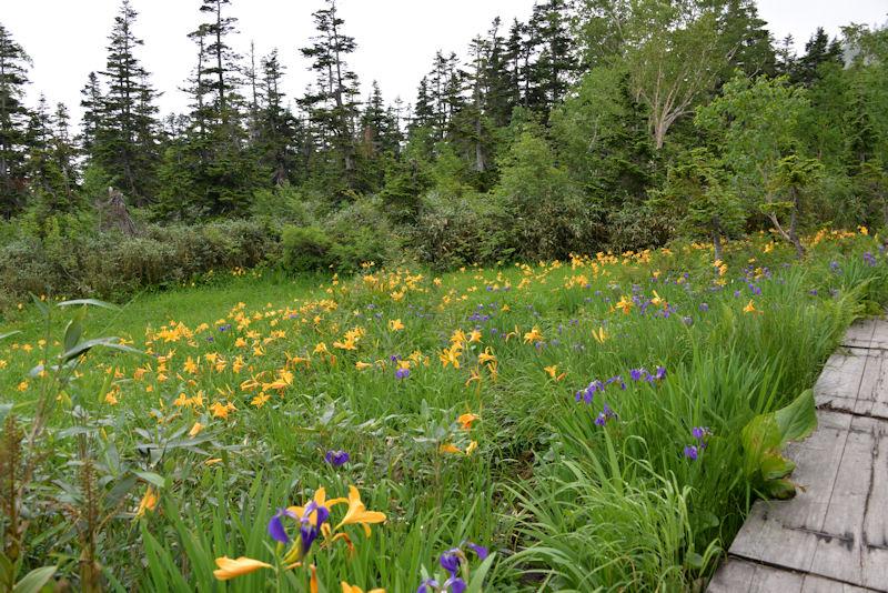 ニッコウキスゲがよく咲いています