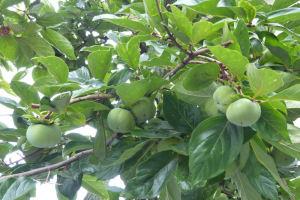 今年は柿が多く生っています
