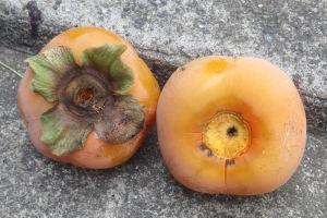 急に実が熟し落ちてしまう柿が
