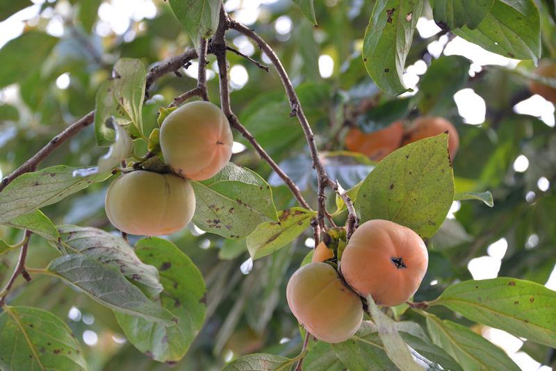柿をとる季節になってきました