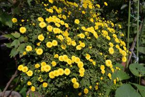 小さな菊もよく咲いています