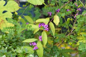 紫のきれいな実がついています