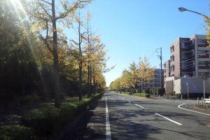 金沢区並木の銀杏