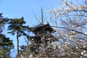旧燈明寺本堂辺りからの白梅と三重塔
