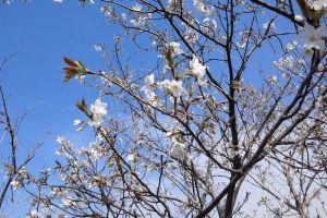 山桜でしょうか2分ほど
