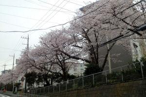台団地の桜