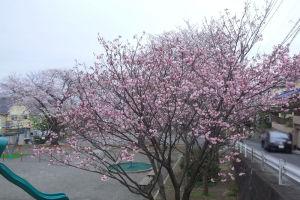 近くの公園の桜も満開