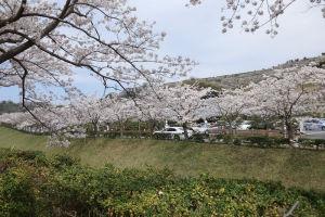 鎌倉霊園にこんなにたくさんの桜が