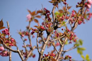 八重桜の上のほうはまだこれから