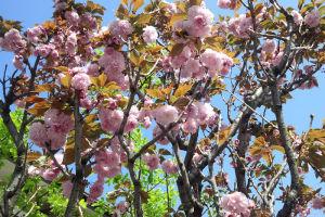 八重桜は満開です