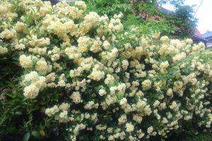 モッコウバラがたくさん咲いて