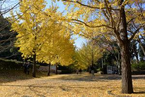 東側からの銀杏並木
