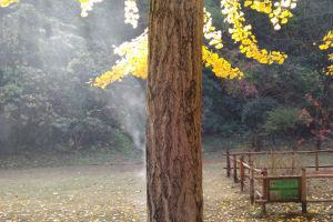 雨上がりの銀杏に陽が射し