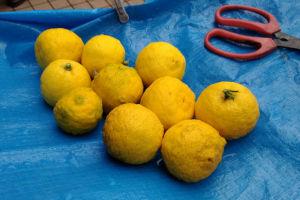 柚子はその日に収穫