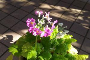 サクラソウもたくさん咲いて仲間が増えて