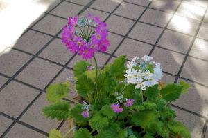 サクラソウは元気に咲いています