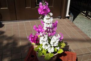サクラソウがよく咲いています