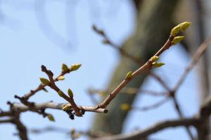 柿の木も新しい芽がいくつも出てきています