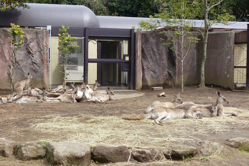 オオカンガルーがたくさんいました