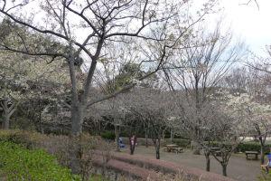 桜は2分咲きといったところ