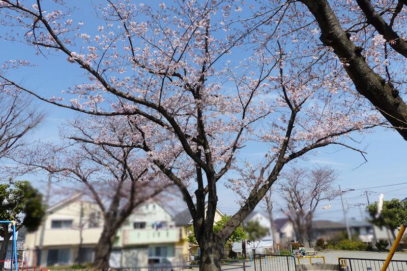 桜は一気に咲いてきます