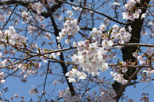 桜の季節は楽しみです