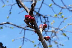 八重桜も蕾がだいぶ膨らんできました