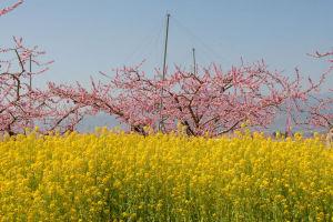 笛吹市桃の花まつりの風景
