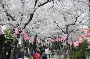 金沢区稱名寺の桜