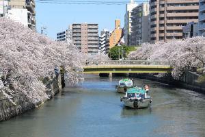 横浜市大岡川の桜
