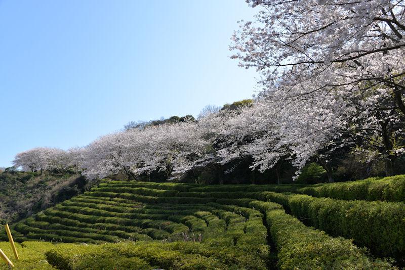 横須賀市鷹取山の桜