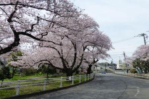 金沢区の桜