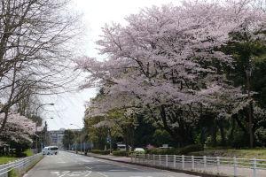 県警第一機動隊近くの桜