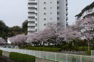 並木第二住宅小柴橋の桜
