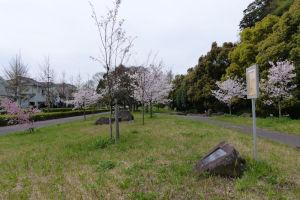 小柴崎緑道近くの桜