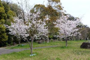 桜は大きくなっていました