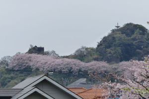 鷹取山登山道には満開の桜が